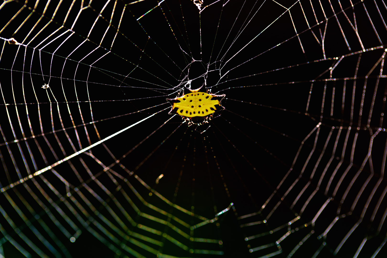 Yellow Spiny Orbweather Spider – Gasteracantha cancriformis