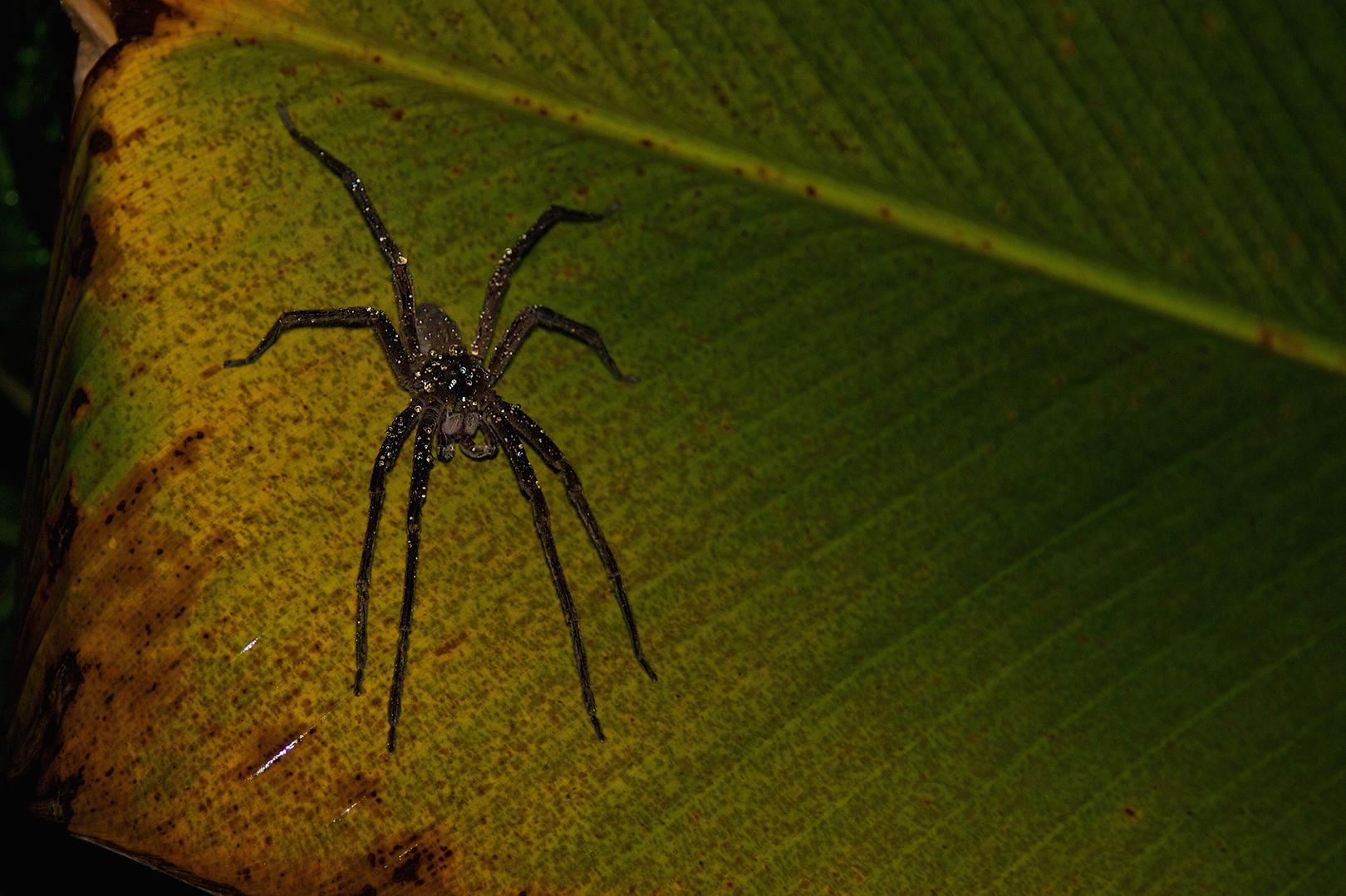Wandering spider – Cupiennius salei