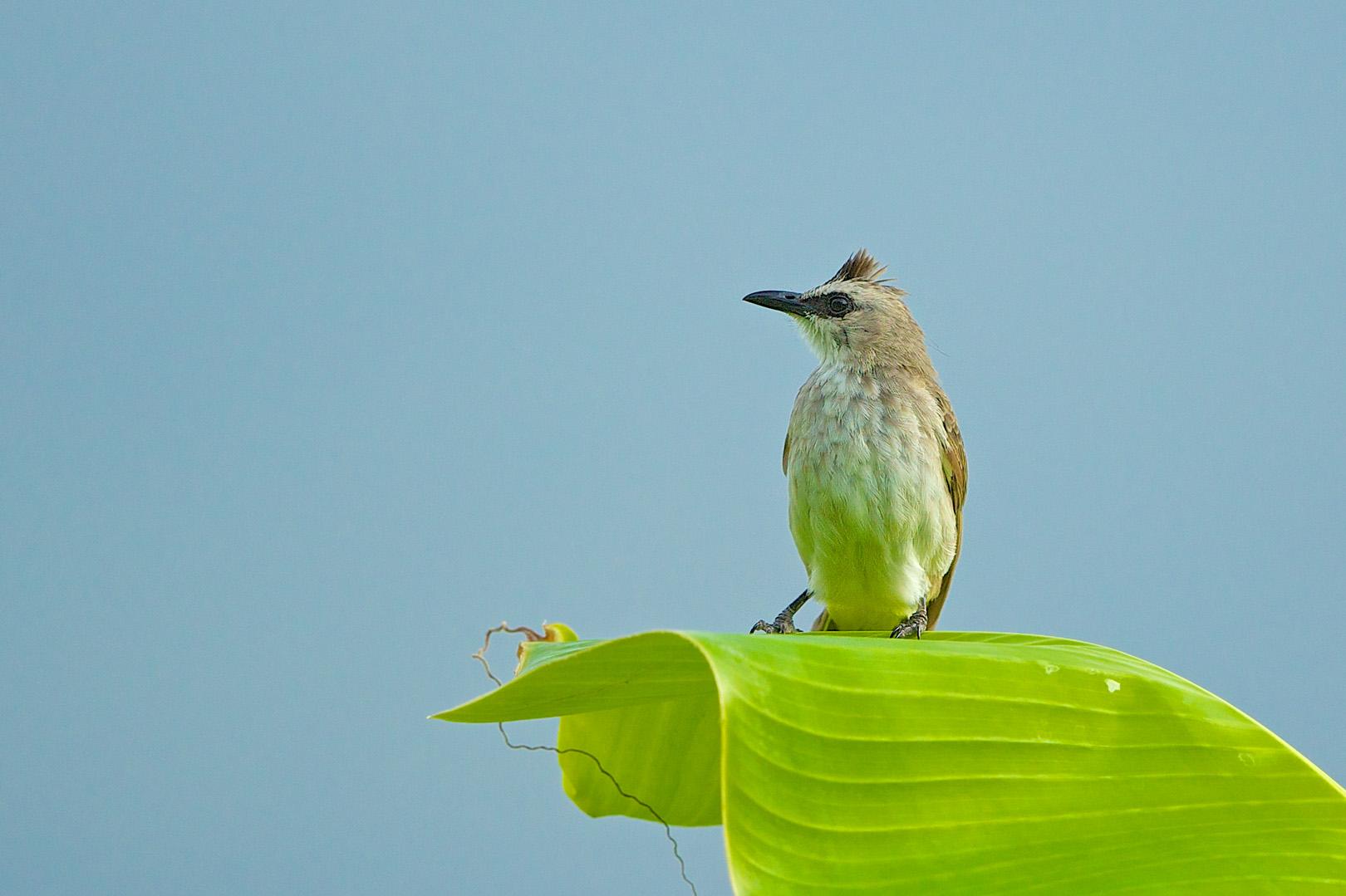 Yellow-vented Bulbul – Wenkbrauwbuulbuul – Pycnonotus goiavier