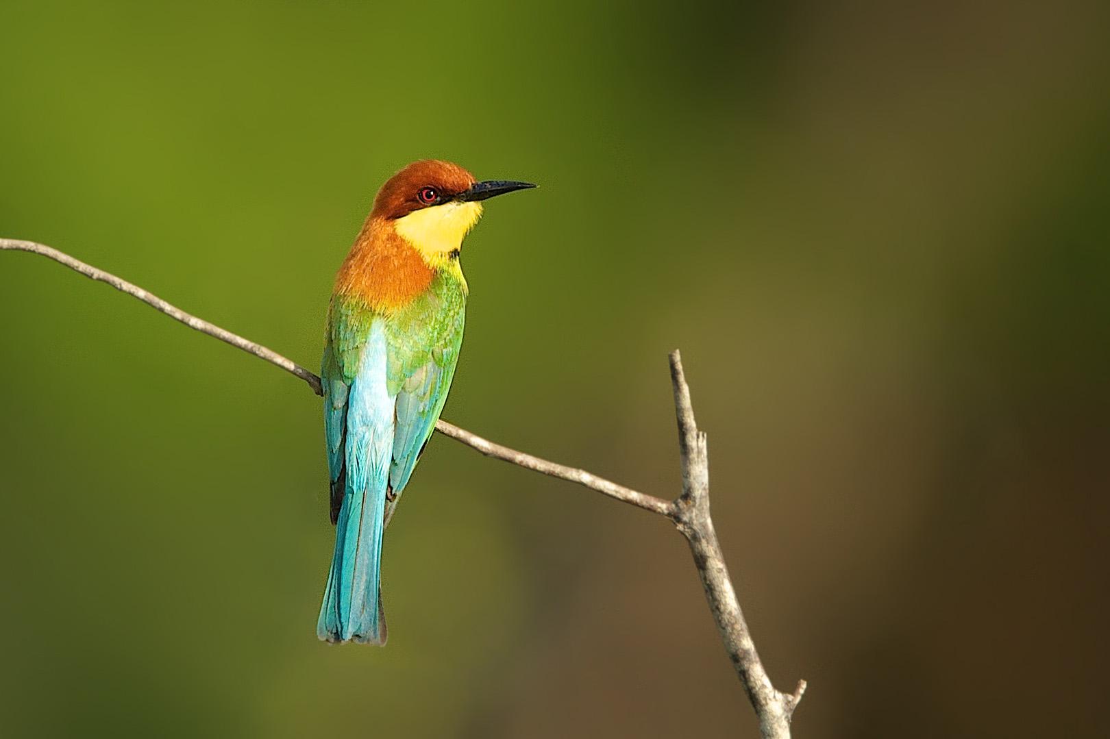 Chestnut-headed Bee-eater – Bruinkopbijeneter – Merops leschenaulti