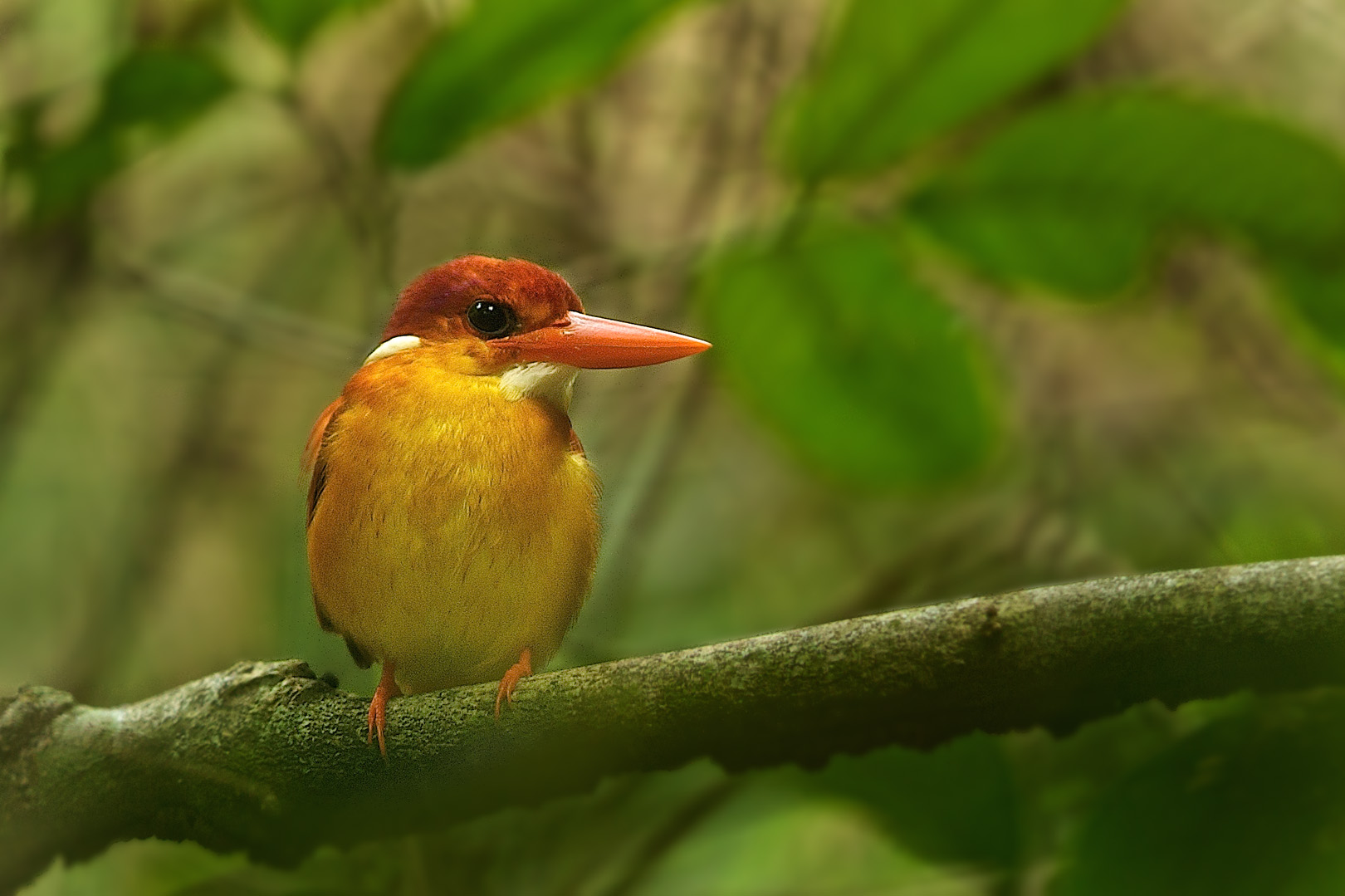 Black-backed Kingfisher – Jungledwergijsvogel – Ceyx erithaca