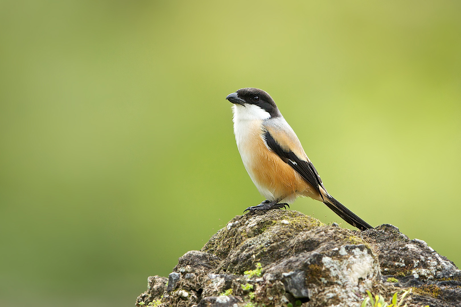 Long-tailed Shrike – Langstaartklauwier – Lanius schach