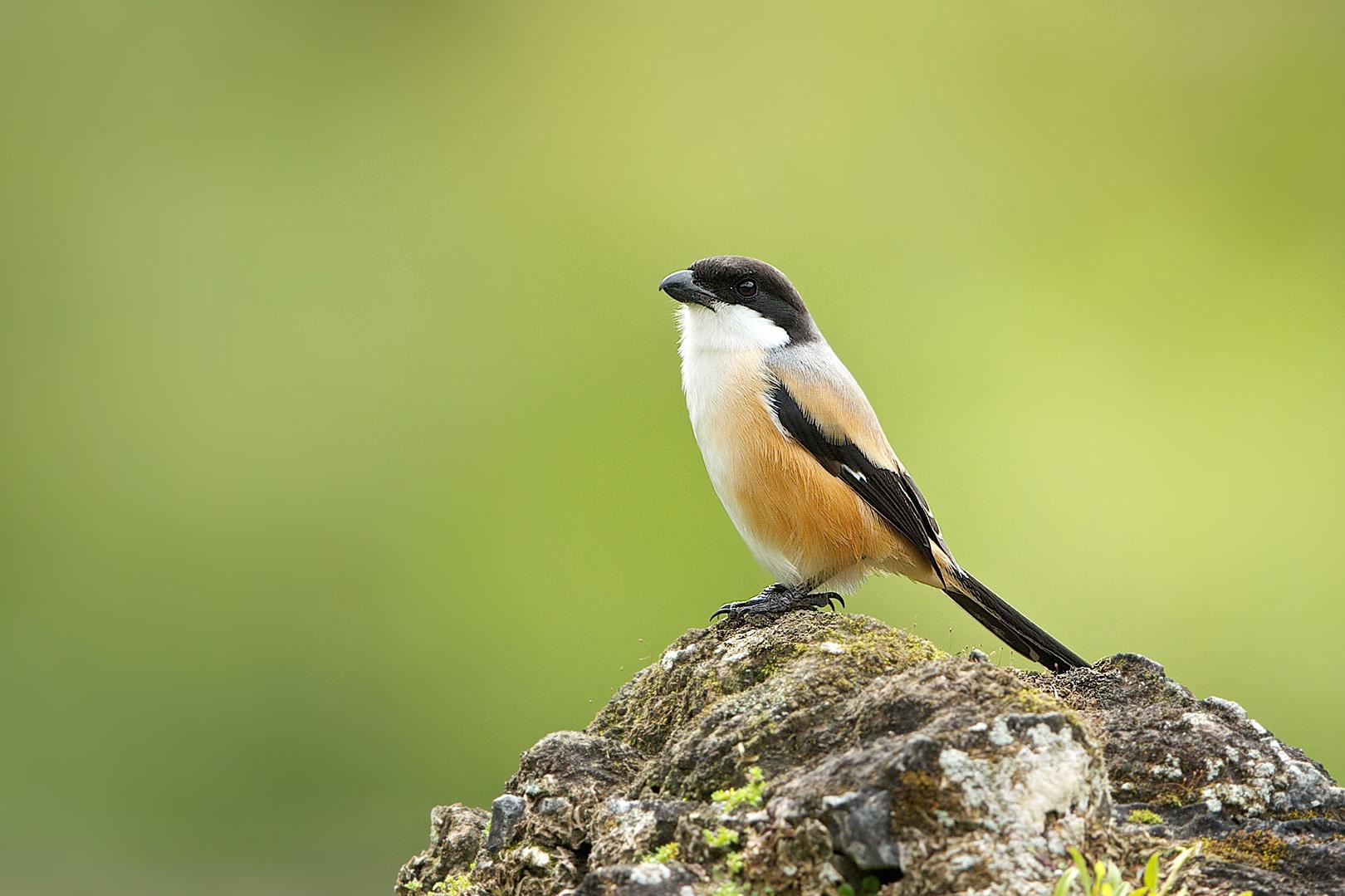 Long-tailed Shrike – Langstaartklauwier – Lanius schach