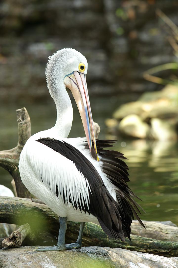 Australian Pelican – Australische Pelikaan – Pelecanus conspicillatus