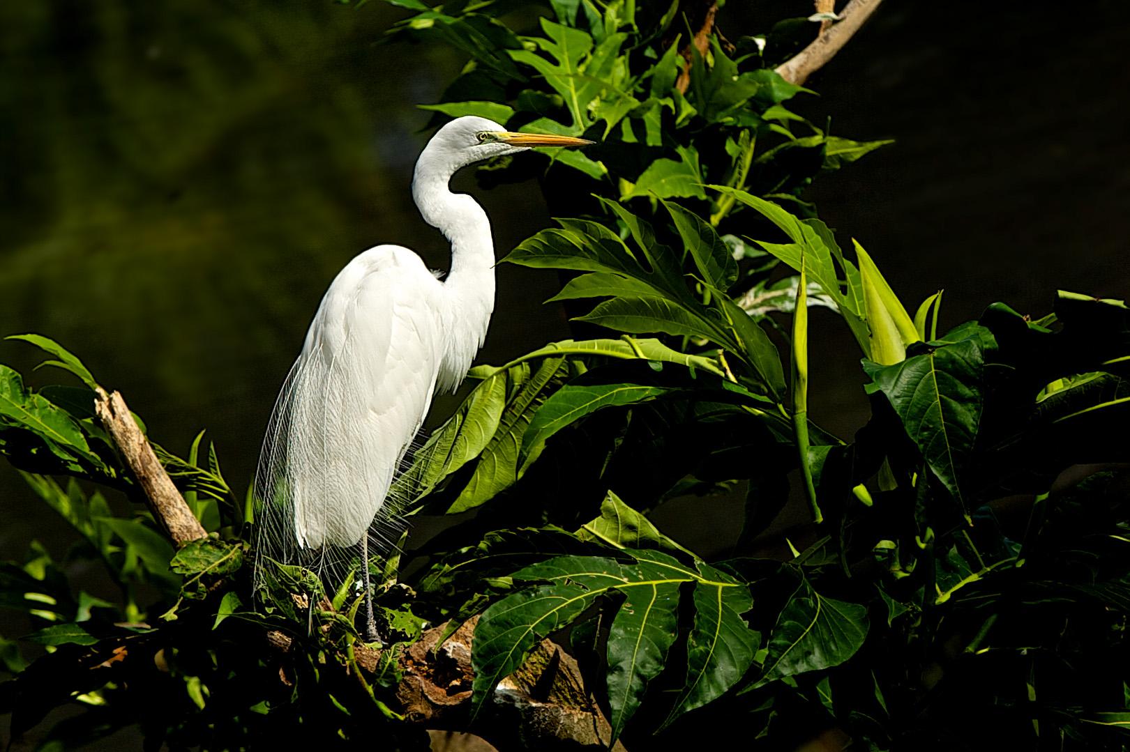 Eastern Great Egret –  Oostelijke Grote Zilverreiger – Ardea modesta