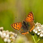 Small Copper – Kleine Vuurvlinder – Lycaena phlaeas