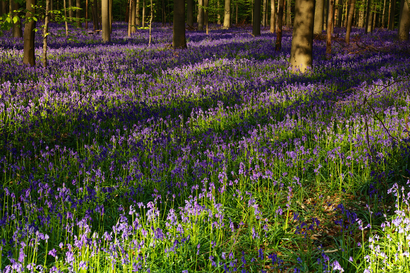 Hallerbos with Bluebell carpet ( Wilde hyacinten )