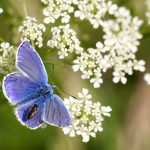Common blue – Icarusblauwtje – Polyommatus icarus