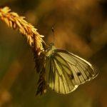 Green-veined white – Klein geaderd witje – Pieris napi