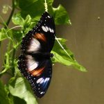 Common Eggfly Butterfly – Hypolimnas bolina