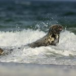Harbor seal – Gewone Zeehond – Phoca vitulina