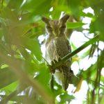 Northern White-faced Owl – Noordelijke Witwangdwergooruil – Ptilopsis leucotis