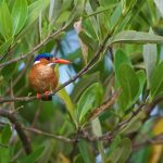 Malachite Kingfisher – Malachietijsvogel – Corythornis cristatus