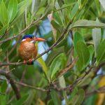 Malachite Kingfisher – Malachietijsvogel – Corythornis cristatus