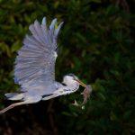 Grey Heron – Blauwe reiger – Ardea cinerea cinerea