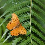 Cruiser Butterfly – Vindula arsine