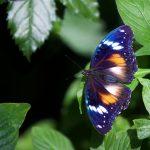 Blue Banded Eggfly – Hypolimnas alimena