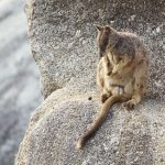 Mareeba rock-wallaby – Petrogale mareeba – Petrogale mareeba