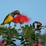 Olive-backed Sunbird – Staalborsthoningzuiger – Cinnyris jugularis