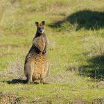 Kangaroo – Kangoeroe