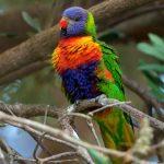 Rainbow Lorikeet – Lori van de Blauwe Bergen – Trichoglossus moluccanus