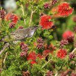 Little Wattlebird – Kleine Lelhoningeter – Anthochaera chrysoptera