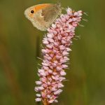 Small heath – Hooibeestje – Coenonympha pamphilus