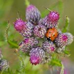 Seven-spot ladybird – Zevenstippelig lieveheersbeestje – Coccinella septempunctata