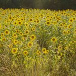 Sunflower field South France